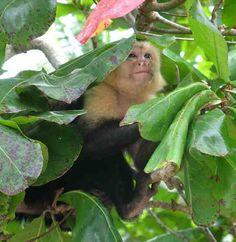 White Face Monkey. Photo was taken on the Osa Peninsula.