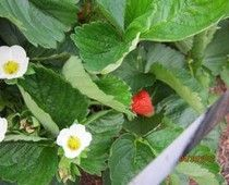 Protect your strawberries the organic way #Examinercom