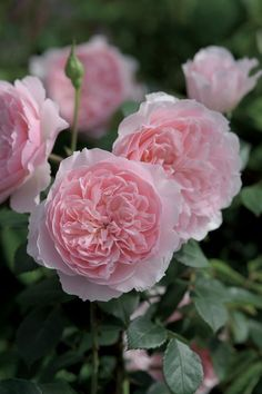 'Wisley 2008' | Shrub. English Rose Collection. David C. H. Austin (United Kingdom, before 2008).