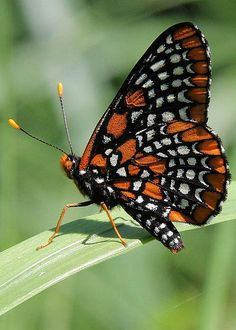 Baltimore Checkerspot Butterfly by Doris Potter