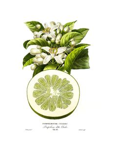 botanical print lithograph flowers