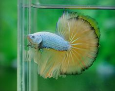 Snow green dragon Beta Fish, Siamese Fighting Fish, Collor, Green Dragon, Fish Tanks, Beautiful Fish, Exotic Fish, Aquariums, Tropical Fish