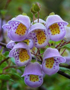 Jovellana violacea is an unusual rarity from Chile with colorful sprays of happy little flowers!  The plant doesn't have a common name, so i named it the violet Teacup Flower