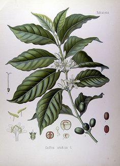 Arabica coffee / Cafeto arábigo / Coffea arabica