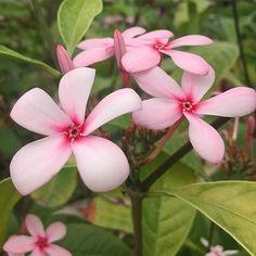 Vinca shrub Flowers  #vinca #flowers #pink #gardener #southflorida #ptk_flowers #heavenlyflowerz #venezuelagarden #symply_flowers #fabulous_shots #flowerstalking #nature_sultans #nature_wizards #igpowerclub #9flower9 #arte_of_nature #awesome_florals #global_nature_knowledge #turkey_reward #pocket_pretty #ponyfony_flowers #fotofanatics_flowers_ #ig_serenity #instagardeners #instagardenlovers #ig_eurasia #igglobalwomenclub