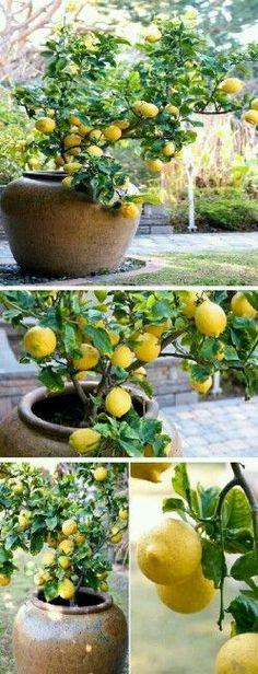Lemon tree for Container Gardening.