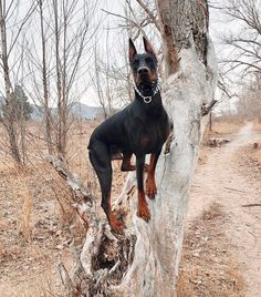 The Doberman Pinscher is among the most popular breed of dogs in the world. Known for its intelligence and loyalty, the Pinscher is both a police- favorite White Doberman Pinscher, Doberman Mix, Doberman Colors, Pet Dogs, Dogs And Puppies, Doggies, Beautiful Dogs, I Love Dogs, Dog Breeds