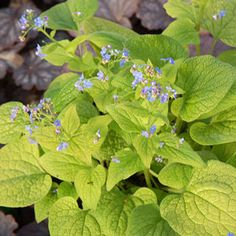 Buy Brunnera Dianes Gold Perennial Plants Online. Garden Crossings Online Garden Center offers a large selection of Gold Siberian bugloss Plants. Shop our Online Perennial catalog today!