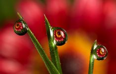 """Real photos taken by Brian Valentine in his garden. The images in the dewdrops are not photoshopped  in, they are normally real flowers placed behind the dewdrops or more  rarely pictures of something placed behind the dewdrops. The drops act  as a wide angle lenses."""""""