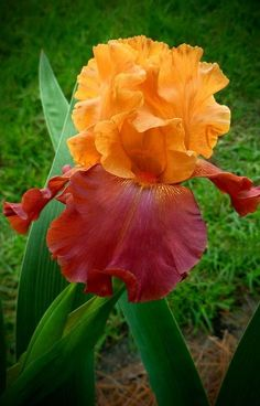 Iris ** Oh my. such pretty colors. too bad they didn't bloom in the fall. Iris Flowers, Flowers Nature, Exotic Flowers, Amazing Flowers, My Flower, Flower Power, Planting Flowers, Beautiful Flowers, Flowers Garden