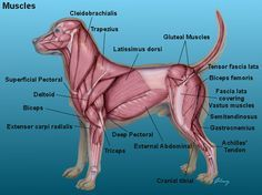 A visual guide to understanding dog anatomy with labeled diagrams canine muscle structure anatomy of the dog dog index ccuart