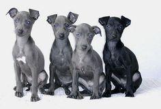 charcik wloski,italiangreyhound,ig,piccolo,windspiel
