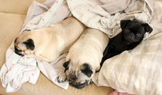 Got a serious case of bed pugs there. (mypugobsession)