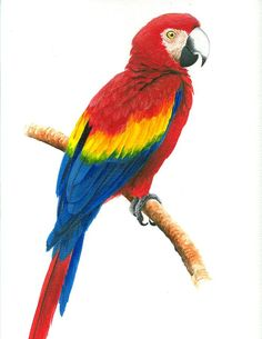 Scarlet Macaw Painting by Christopher Cox