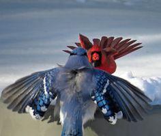 302 Best Blue Jays And Cardinals Images Cardinal Birds Beautiful