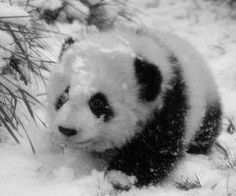 I do not know why, but every time I see a panda it makes me so happy! I do not know why, but every time I see a panda it makes me so happy! Niedlicher Panda, Panda Bebe, Cute Panda, Snow Panda, Fluffy Animals, Cute Baby Animals, Animals And Pets, Wild Animals, Beautiful Creatures