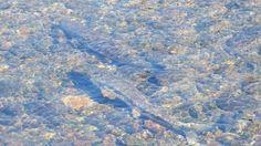 盛岡 サケの遡上 中津川の鮭 2015