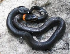 Non-Venomous: common ring neck snake. Often mistaken as a black racer.