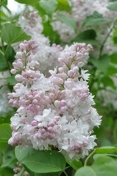 Lilac Flowers, Exotic Flowers, Amazing Flowers, Beautiful Flowers, Purple Roses, Dream Garden, Trees To Plant, Beautiful Gardens, Garden Plants