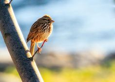 Song Sparrow - Original fine art nature bird photography by Bob Orsillo.  Copyright (c)Bob Orsillo / http://orsillo.com - All Rights Reserved.  Buy art online.  Buy photography online   Song Sparrow taking a break from singing to enjoy the warmth of the sun.