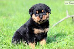 rottweiler puppy | rottweiler-puppy-picture-34786804-655c-4082-8113-78a841f54111.jpg