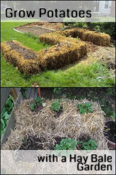 Grow Your Own Potatoes in a Pile of Hay