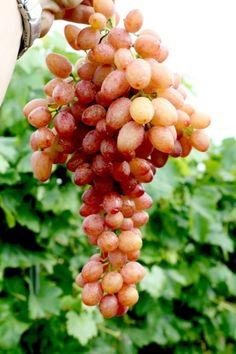 Vitis vinifera Kishmish Luchistyi - kernlos und langtraubig - süße Rosé-Weintraube - Weinrebe -