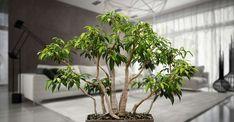 Comment entretenir Ficus benjamina ? Ici, un bonsaï Ficus benjamina. © PierreSelim, CC by 3.0