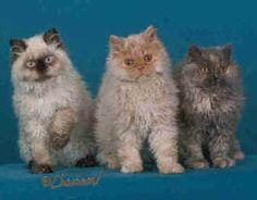Pamacs Selkirk Rex Cats Buying A Selkirk Rex