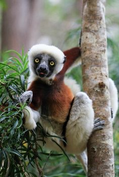 Curious little Coquerel Sifaka in the eastern Madagascar rainforest of Analamazaotra Reserve. Animals Of The World, Animals And Pets, Funny Animals, Cute Animals, Primates, Mammals, Beautiful Creatures, Animals Beautiful, Rainforest Animals