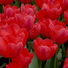 Bulbi lalele Darwin Hybrid - Acropolis Acropolis, Darwin, Tulips, Rose, Plants, Pink, Plant, Roses, Tulip