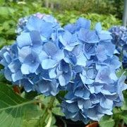 The 'Renate Steiniger' Hydrangea is a hortensia type, decidous, upright, spreading shrub with shiny, ovate, green leaves and the best blue dome flowers in early and late summer.