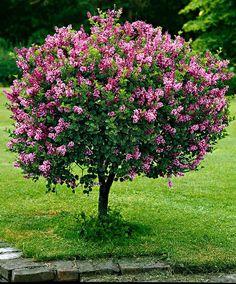 Dwarf lilac on the & trunk- Zwergflieder auf Stamm 'Palibin' Dwarf lilac on the & trunk - Garden Shrubs, Flowering Shrubs, Garden Trees, Trees And Shrubs, Trees To Plant, Shade Shrubs, Backyard Trees, Dwarf Korean Lilac Tree, Dwarf Lilac Tree