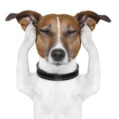 Find Dog Meditates Closed Eyes Ears stock images in HD and millions of other royalty-free stock photos, illustrations and vectors in the Shutterstock collection. Dog Separation Anxiety, Dog Anxiety, Dog Photos, Dog Pictures, Pet Dogs, Dogs And Puppies, Teacher Problems, Closed Eyes, Service Dogs
