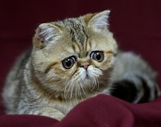 """Exotic Shorthair Cats are awesome. My Gus is a """"Zot"""" and is the most steadfast and loving pet I've ever had."""