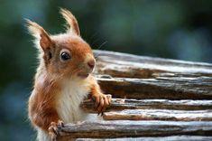 Sooooo ... ein knuffiger kleiner Wicht! Ich liebe Eichhörnchen, sie sind so niedlich.