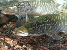 Freshwater Fish, Fresh Water, Nature, Photos, Photography, Beauty, Naturaleza, Pictures, Photograph