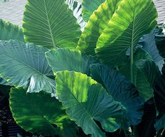 Elephant's Ears Get detailed growing information on this plant and hundreds more in BHG's Plant Encyclopedia.