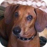 Houston, TX - Dachshund. Meet Buddy Sunshine, a dog for adoption. http://www.adoptapet.com/pet/9947738-houston-texas-dachshund
