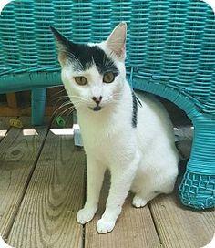 New York, NY - Domestic Shorthair. Meet Jaxon, a kitten for adoption. http://www.adoptapet.com/pet/14859488-new-york-new-york-kitten