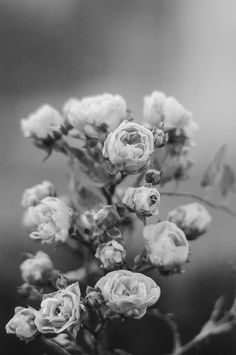 roses - source? unknown White Aesthetic Photography, Splendour In The Grass, Black And White Aesthetic, Growing Roses, Romantic Flowers, White Flowers, Black And White Pictures, Black White, My Flower