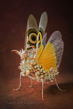 Spiny Flower Mantis.  Incredible!