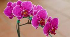 Phalaenopsis Orchid, Gerbera, Pesto, Rose, Floral, Plants, Gardening, Image, Flowers