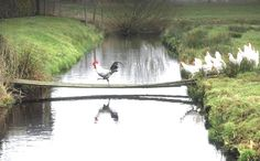galinhas e galo atravessando a ponte