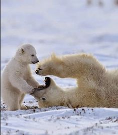 10 Cute Animal Pictures for Your Day on Love Cute Animals Nature Animals, Animals And Pets, Baby Animals, Funny Animals, Cute Animals, Beautiful Creatures, Animals Beautiful, Baby Polar Bears, Love Bear