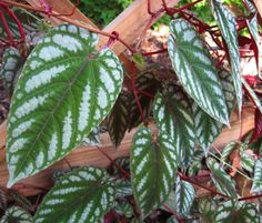 begonia leaves - Google Search