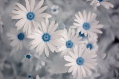 Osteospermum 'Soprano White,' or African daisy has the pure white petals and blue center that gave rise to the common name of Blue-Eyed Daisy. Summer Flowers, My Flower, White Flowers, Beautiful Flowers, Simply Beautiful, Real Flowers, Flowers Pics, Beautiful Monday, Daisy Flowers