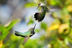 """Sold a 16.00"""" x 10.63"""" print of Hummingbirds Ensuing Battle to a buyer from Hernando, FL"""