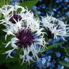 Bleuet des montagnes - Centaurée Purple Heart 50 X 30 cm  Floraison : Mai à Juillet  Aux fleurs blanches à coeur pourpre.  Exposition au soleil ou à mi-ombre. Sol ordinaire, frais. Rustique, au moins jusqu'à -15°C. Feuillage caduc. Port Etalé. Intérêt estival. Fleurs a couper. Couvre-sol.