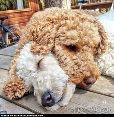 """aplacetolovedogs: """" Two gorgeous Labradoodles, Honeyb and her sister Delphi fast asleep on the picnic table in Sherwood forest Via For more cute dogs and puppies """" Cute Puppies, Cute Dogs, Dogs And Puppies, Doggies, Goldendoodles, Labradoodles, Cockapoo, Poodle, Australian Labradoodle"""